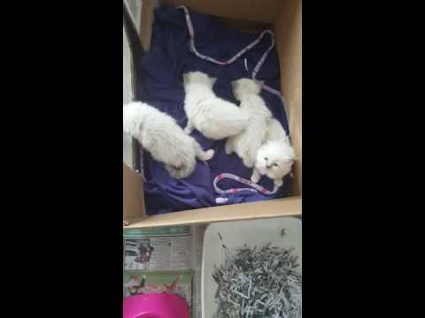 Swarthdale Birman kittens uk