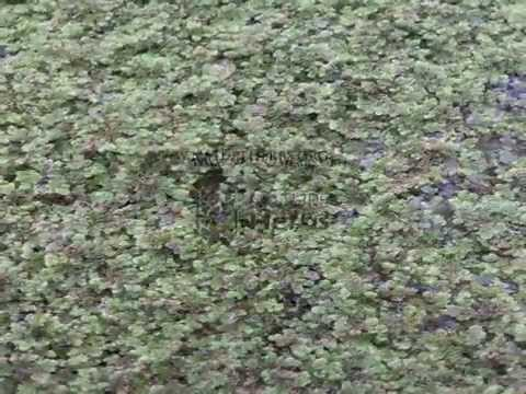 Azolla Cultivation India
