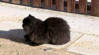 Персидский кот Кирилл