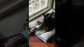 Dachshund Puppy playing in sweater with Blue Heeler Mix - Fun Cute Dogs playing