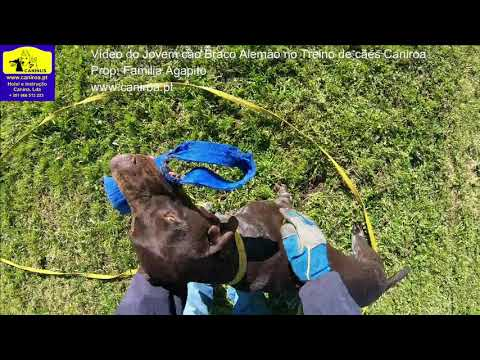 Vídeo do Jovem cão Braco Alemão no Treino de cães Caniroa