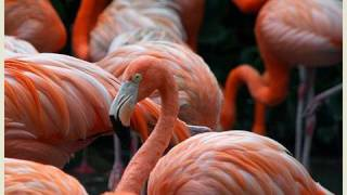 Pink Flamingos at the San Diego Zoo (in HD)
