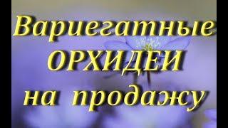 ВАРИЕГАТНЫЕ орхидеи на ПРОДАЖУ thumbnail