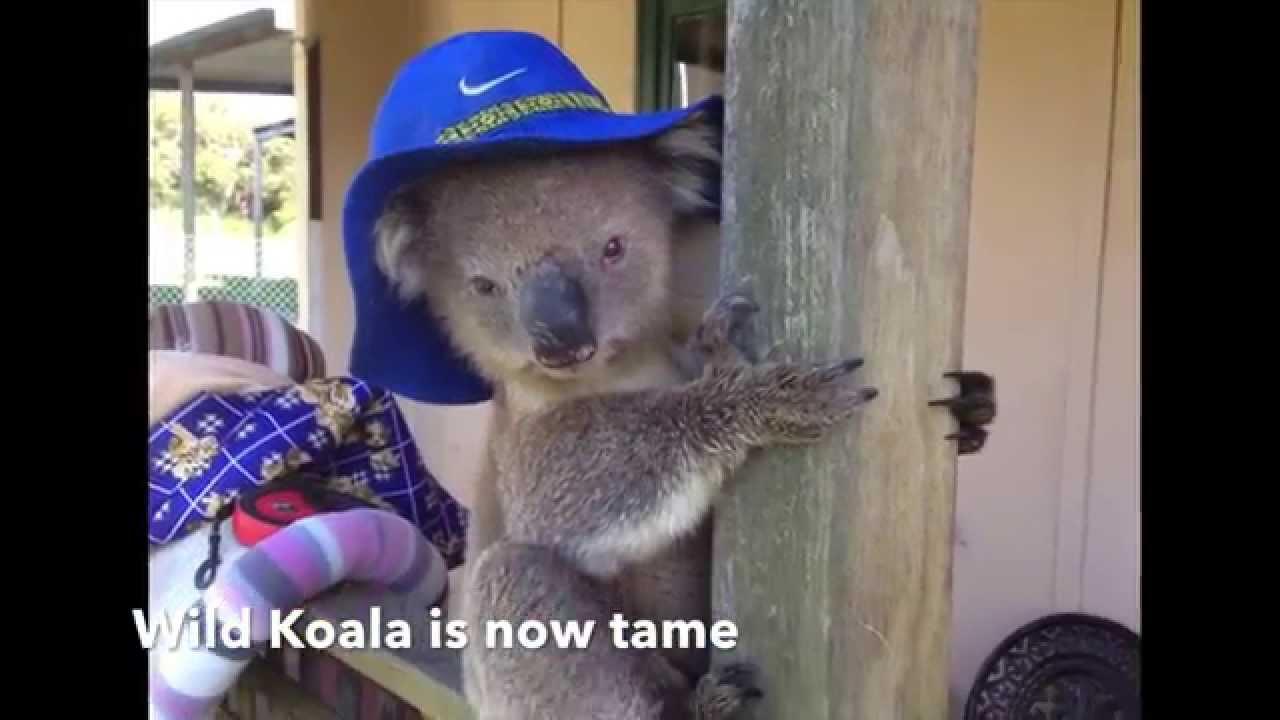 b01ec72d79c How to Tame a Wild Koala - YouTube