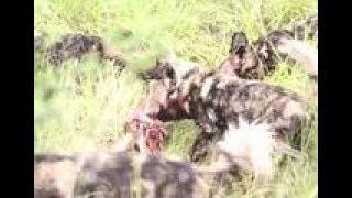 野狗遭遇鬣狗来抢食,一言不合就掏肛,最被拆成一张皮!