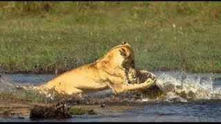 Lion Documentary National Geographic   WAR IN THE POND, BROKEN JAWS   Lion, Hippo & Croc HD 2016