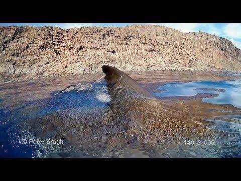 f64ddb56600ded Witte haai zet tanden in onderwatercamera - Droomplekken.nl