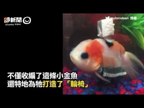 「魚鰾病」小金魚無法保持平衡 主人幫造輪椅讓牠能快樂優游 是滿載愛心的金魚用輪椅! - YouTube