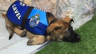 Zu süß für die Polizei - Polizeihund muss Ausbildung abbrechen