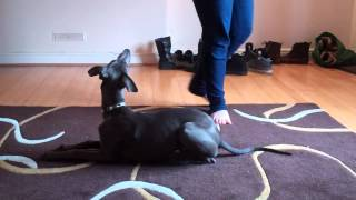 Whippet Training :