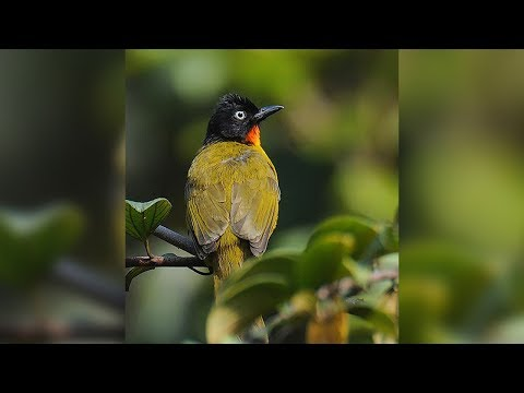 Suara Burung kutilang Emas / Cucak Kuning Audio Masteran Murai