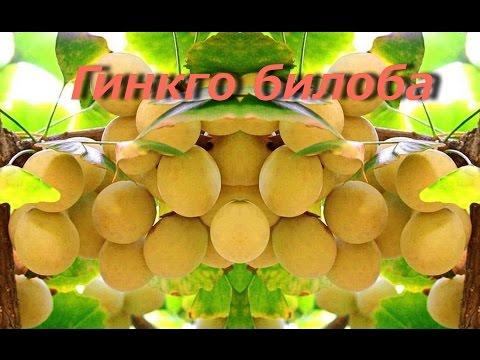 Гинкго билоба: полезные, лечебные свойства и