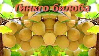 Гинкго билоба  -  лечебные свойства и противопоказания(Широко известное дерево гинкго билоба издревле считалось лечебным, однако, препараты из листьев этого..., 2015-11-04T08:50:00.000Z)