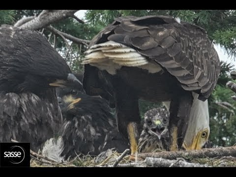Exciting Update - Hawk fledged at Eagle nest, Sidney BC - YouTube