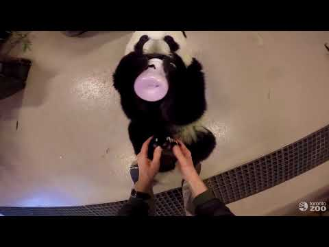 Toronto Zoo Giant Panda Cub Morning Routine