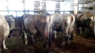 Загон коров на место