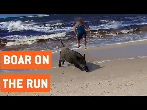 Wild Boar Attacks Tourists On Beach | On The Run