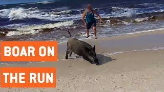 Wild Boar Attacks Tourists On Beach | On The Run