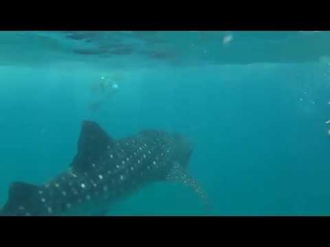 Китовая акула мальдивы