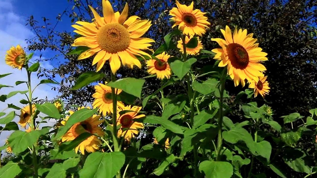 198 Days How To Plant Grow And Care For Sunflower Plants Youtube