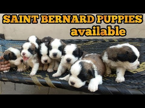 Saint bernard puppy for sale
