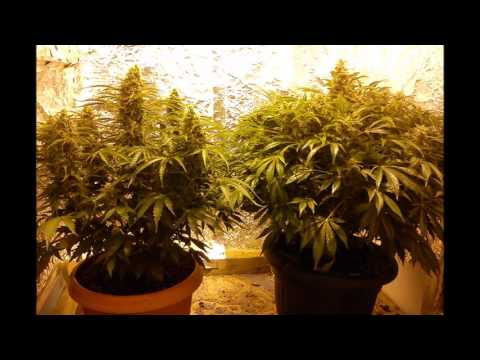 NORTHERN LIGHTS GREEN HOUSE AUTO