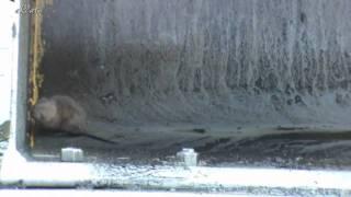 Ловим:водяная крыса или водяная полёвка(Arvicola terrestris).