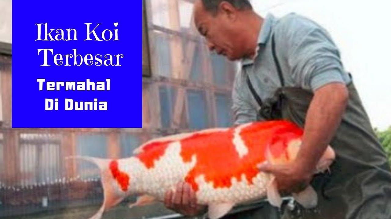 Edan Ikan Koi Terbesar Dan Termahal Di Seluruh Dunia Youtube