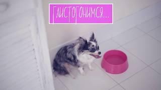 Как понять, что у собаки глисты и что делать | Чихуахуа Софи
