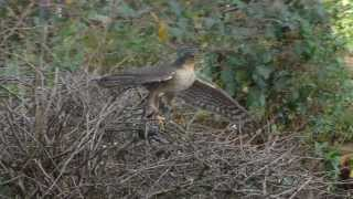 Sparrowhawk catches another Starling - #1