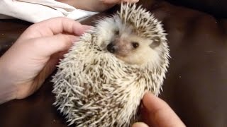 Our pet hedgehog! Ryu!