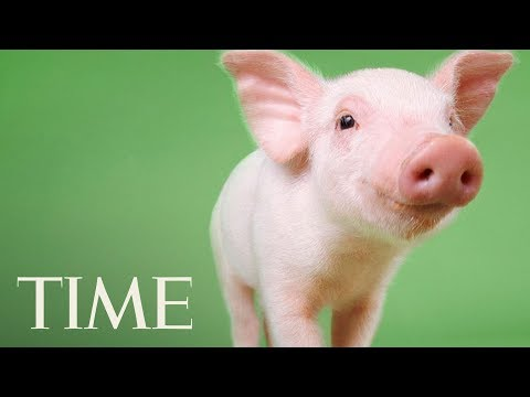 Scientists Created Low-Fat Pigs By Editing Their Genes With CRISPR: Finding A Happy Medium | TIME