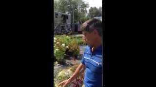 Гортензия метельчатая и древовидная. Садовый центр  Зеленый дом(, 2015-07-02T11:22:50.000Z)