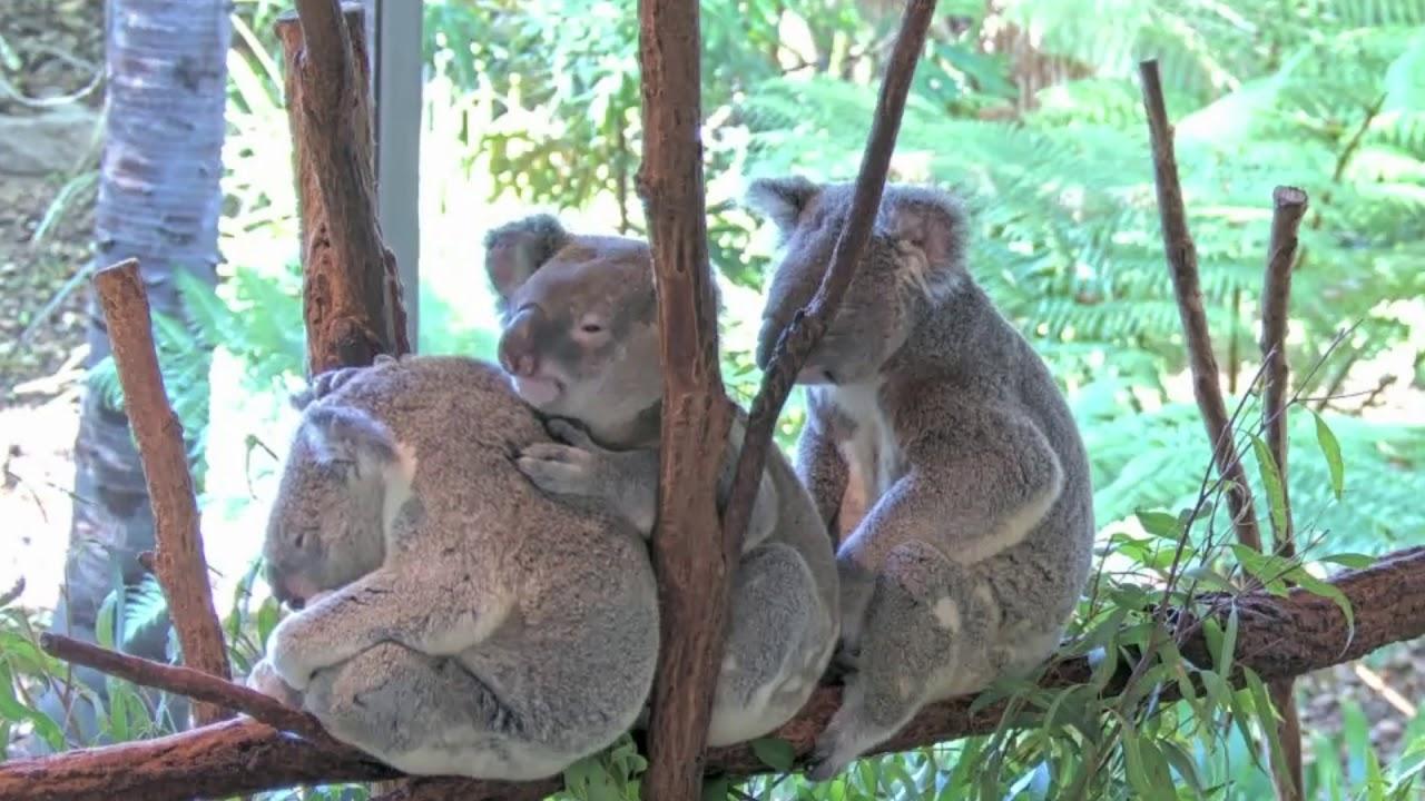 Koala Cuddle Train Highlights 🚂🚃🐨🐨🐨🚃