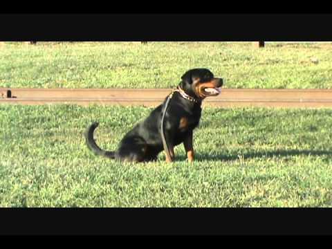 Rottweiler Schutzhund Training