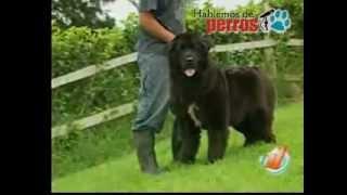 Los perros terranova o perros niñera. Razas de perro gigantes.