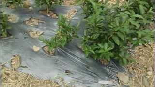 お茶の木 苗木 植えたばかり