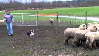Royston Corgi - Herding Sheep