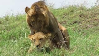 Cópula leones Serengeti-31.03.17. Alejandro G. Herrera