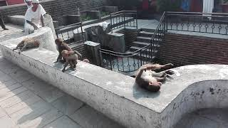 Monkeys of nepal swimming and resting in sunlight