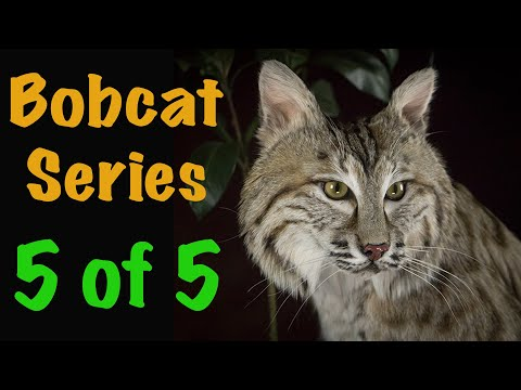 Bobcat Taxidermy Series. Part 5. WASHING AND DRYING. Art of Taxidermy.