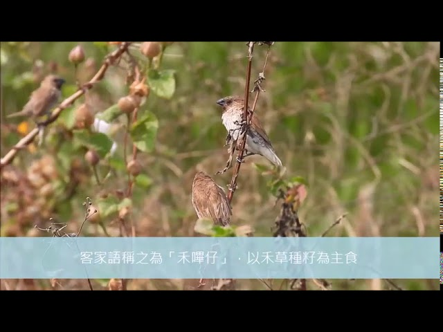 茄萣濕地樹上淘寶網斑文鳥:黑嘴鵯仔