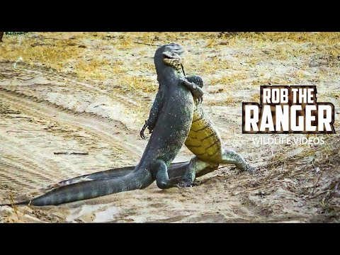 Godzilla Fight? Battle Of The Monitor Lizards