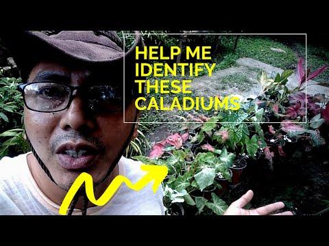 Need help identifying my caladium collections