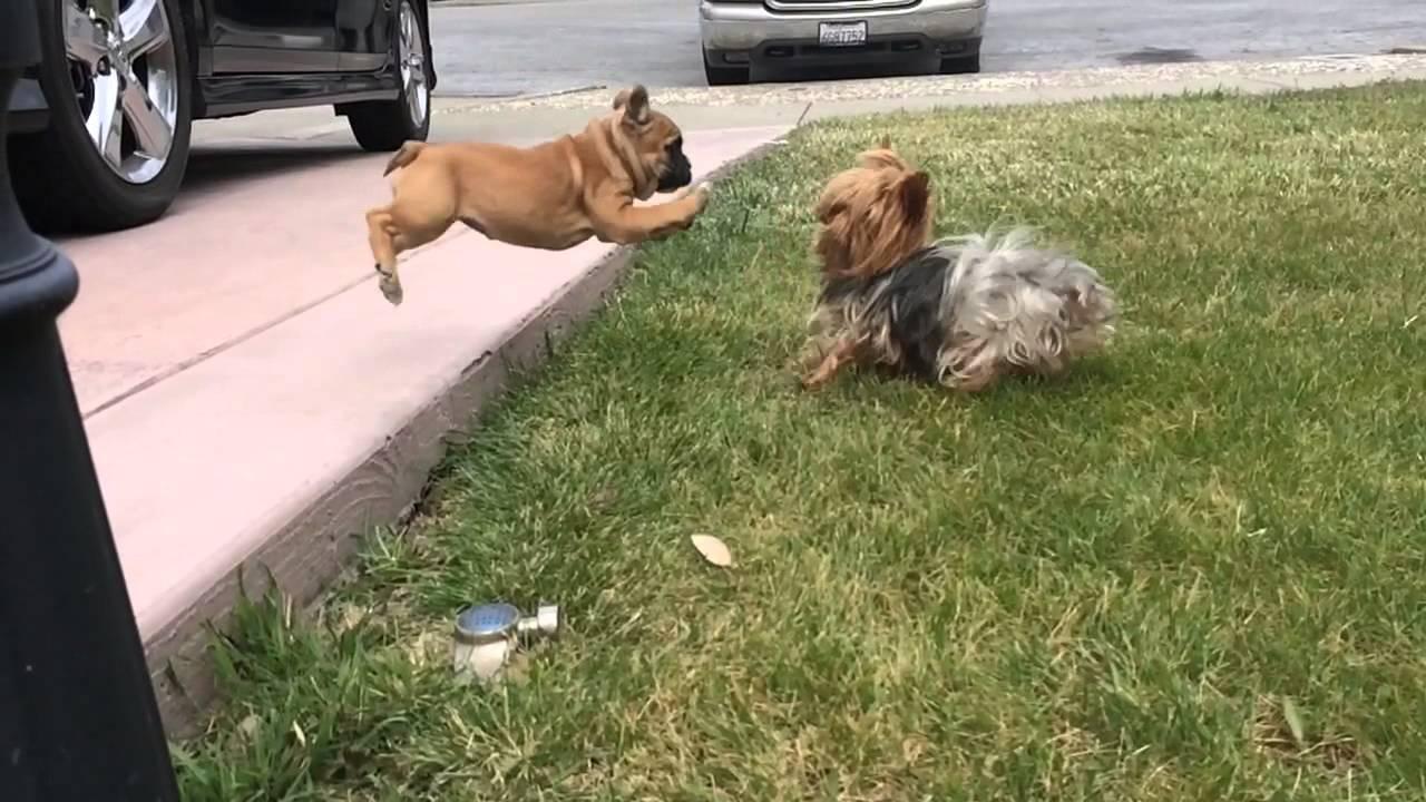 Yorkie Fights French Bulldog Youtube