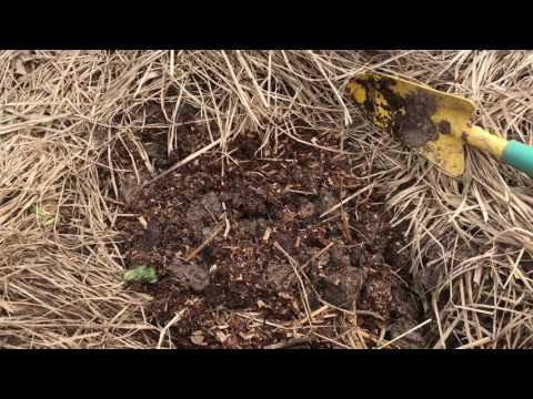 Поздняя посадка огурцов в июне (быстро начинают плодоносить и плодоносят очень долго)