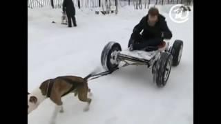 Нелегальные СОБАЧЬИ БОИ!!! ШОК!!! Пит БУЛИ!!! Illegal DOG FIGHTING!!! SHOCK!!! Pit BULLS!!