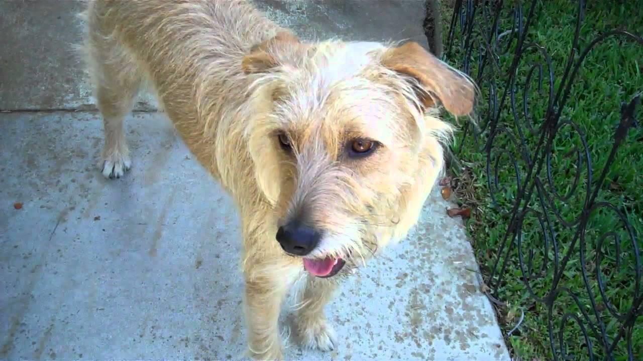Irish Terrier Mix, sisters Riley & Sarah 2011-08-22 13 06 ...