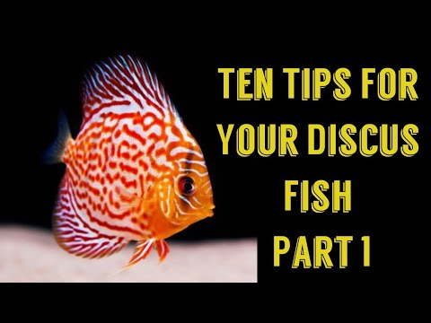 Discus Fish Care Tips | Ten Tips Part 1 | Discus Fish Care Tips  In Details  Full Information