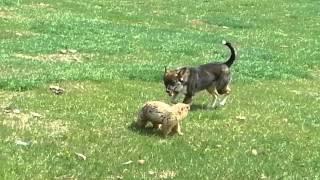 Сурок против собаки